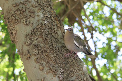 Птица голубя утра сидя на стороне дерева на ухабистой коре дерева в Aviary Стоковая Фотография RF
