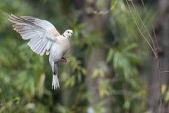 Птица голубя черепахи Стоковые Фото