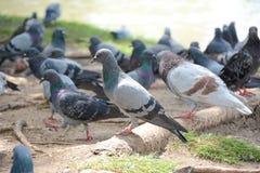 Птица голубя стоковое фото