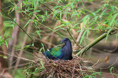 Птица голубя Nicobar на гнезде Стоковая Фотография RF