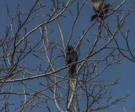 Птица грачонка Corvus с голубым небом стоковые изображения rf