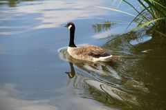 Птица гусыни Канады на изолированном озере Стоковая Фотография RF
