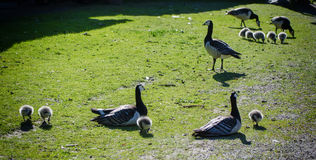 Птица гусыни Канады Стоковая Фотография RF