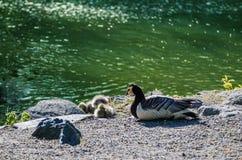 Птица гусыни Канады Стоковое Фото