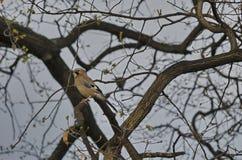 Птица Джэй в весеннем времени Стоковая Фотография RF