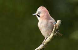 Птица Джэй Стоковые Фотографии RF