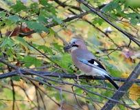 Птица Джэй Стоковая Фотография