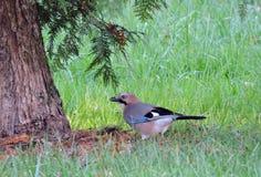 Птица Джэй Стоковое Изображение RF