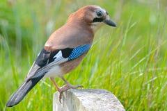 Птица Джэй Стоковые Изображения