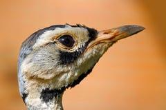 Птица дрофиные стоковые фотографии rf