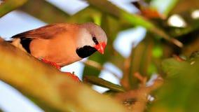 Птица, Длинн-замкнутый зяблик садилась на насест на ветви дерева Стоковое Фото