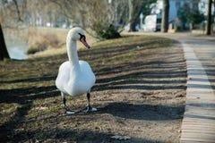 Птица лебедя Стоковые Фотографии RF