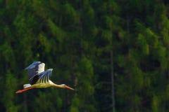 Птица летая белого аиста Стоковые Изображения