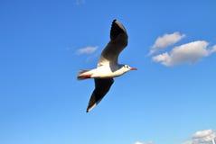 птица летая чисто небо чайки Стоковое Изображение