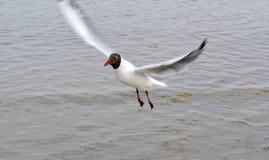 птица летая чисто небо чайки Стоковое Фото