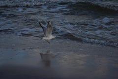 птица летая чисто небо чайки Стоковые Изображения