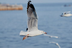 птица летая чисто небо чайки Стоковое фото RF