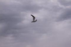 птица летая чисто небо чайки стоковые фотографии rf