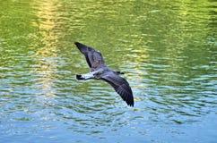птица летая чисто небо чайки Стоковое Изображение RF