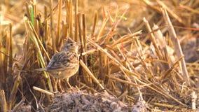 Птица жаворонка поя для того чтобы вызвать ее друзей на рисовых полях конец вверх Солнечный свет утра 2 сток-видео