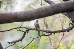 Птица (жалобная кукушка) в природе одичалой Стоковое Изображение