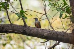 Птица (жалобная кукушка) в природе одичалой Стоковые Фотографии RF