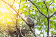 Птица (жалобная кукушка) в природе одичалой Стоковые Изображения RF