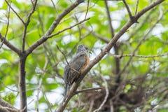 Птица (жалобная кукушка) в природе одичалой Стоковые Изображения