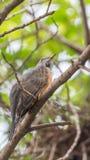 Птица (жалобная кукушка) в природе одичалой Стоковое Изображение RF
