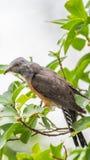 Птица (жалобная кукушка) в природе одичалой Стоковое фото RF