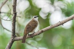 Птица (Желт-провентилированный Bulbul) на дереве в природе одичалой Стоковое Изображение RF