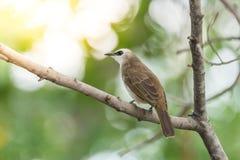 Птица (Желт-провентилированный Bulbul) на дереве в природе одичалой Стоковые Фотографии RF
