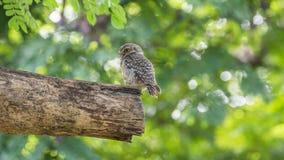 Птица (запятнанные owlet, сыч) в природе одичалой Стоковое Изображение RF