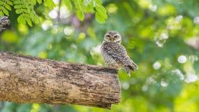 Птица (запятнанные owlet, сыч) в природе одичалой Стоковые Изображения RF