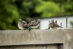 Птица запятнала голубя, запятнанный голубя черепахи Стоковые Изображения