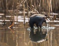 птица застенчивая Стоковые Фотографии RF
