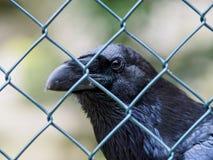 Птица за загородкой смотря камеру Стоковая Фотография RF