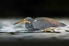 Птица звероловства Птица воды сидя в воде Пляж в Флориде, США Цапля Tricolored птицы воды, Egretta tricolor, с апельсином b Стоковое Фото