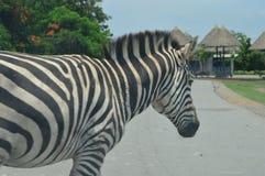 Птица зебры в зоопарке Стоковое Фото