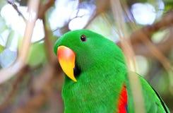 Птица зеленого цвета попугая Eclectus Стоковые Фотографии RF