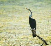 Птица змеешейки или змейки (американская змеешейка Melanogaster) Стоковые Изображения RF