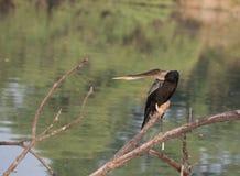 Птица змейки сидя на ветви стоковое фото