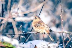 Птица зяблика дома крошечная садилась на насест на дереве Стоковые Фото