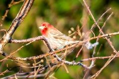 Птица зяблика дома крошечная садилась на насест на дереве Стоковое Изображение RF