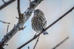 Птица зяблика дома крошечная садилась на насест на дереве Стоковое фото RF