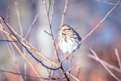 Птица зяблика дома крошечная садилась на насест на дереве Стоковая Фотография