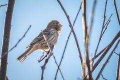 Птица зяблика дома крошечная садилась на насест на дереве Стоковое Фото