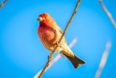 Птица зяблика дома крошечная садилась на насест на дереве Стоковые Фотографии RF