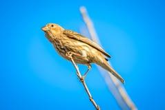 Птица зяблика дома крошечная садилась на насест на дереве Стоковые Изображения RF