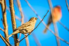 Птица зяблика дома крошечная садилась на насест на дереве Стоковые Изображения